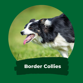 LLanfarian Border Collies